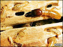 Termites (Image: Natural History Museum)