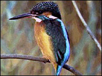 Kingfisher (Pic: RSPB)