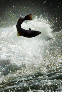 Leaping salmon (Image: PA)