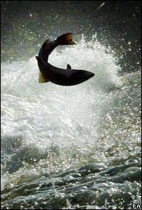 Leaping salmon (Image: PA)
