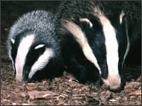 Generic picture of badgers