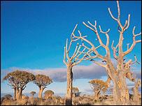 Quiver trees (Image: BBC)