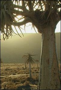 Quiver tree (Image: TVE)