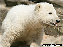 Polar bear cub Knut