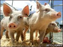 Cerdos en un corral