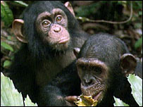 Chimps
