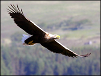 Sea eagle (Pic: Iain Erskine)
