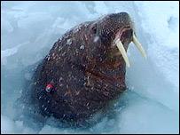 Tagged walrus