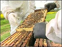 Bees from David Morris' apiary