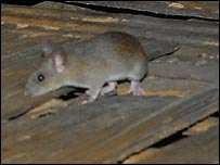 Rat in Mizoram