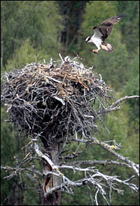 Osprey at Loch Garten. Picture by Chris Gomersall/RSPB Images