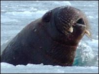 Greenland walrus