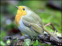 A Robin (Image: PA)