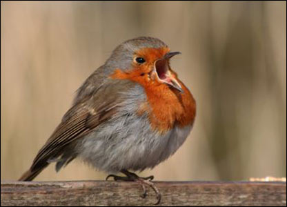 A very tame robin at Cosmeston Lakes, Vale of Glamorgan (Christine Lewis)