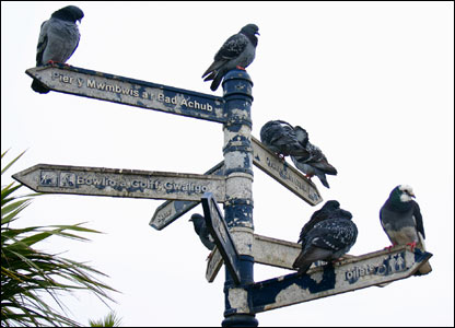 Pigeons finding their way around Mumbles (Jim Young)