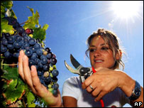 Harvesting grapes in Italy (file image)
