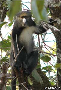 Putty nosed monkey (Kate Arnold)
