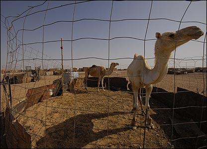 Penned camels in Smara refugee camp, south-west Algeria (Copyright: Steve Franck)