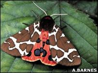 Garden tiger moth (Image: Alan Barnes)