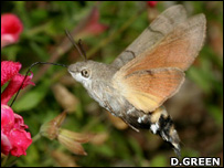 Hummingbird hawk moth (Image: David Green)