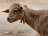 Sudanese goat (posed by model)
