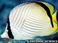 An adult butterflyfish (Science and R. Patzner)