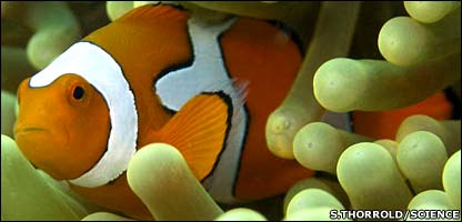 An adult orange clownfish (Science and S.R. Thorrold)