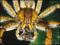 The Phoneutria nigriventer spider