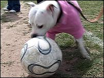 A dog dressed in a pink jumper stands on the touchline