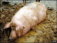 Dead pig in China