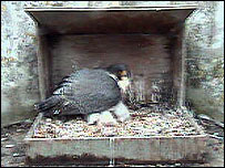 Image from the nestcam (from RSPB/Eco-watch)