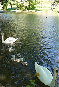 The eight cygnets hatched on 25 April