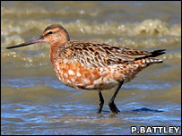 Male godwit (Phil Battley)