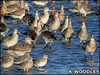Godwits (Keith Woodley)