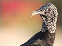 American black vulture, which is native to the US