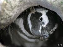 Pingüino de Magallanes (foto Archivo).