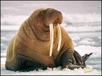 Pacific walrus (M.V.Jensen)