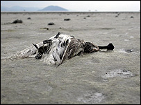 A dead spoonbilled sandpiper on the dried-out Saemangeum wetlands (Image: Nial Moores/Birds Korea)