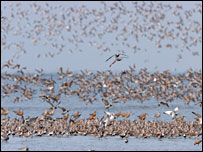 Bar-tailed godwits, eastern curlews, dunlins and great knots fly over the estuary before the sea wall was completed (Image: J van de Kam/Birds Korea)