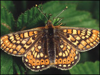 Marsh Fritillary butterfly (picture: Mike Clark)