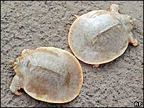 Two soft-shell turtles