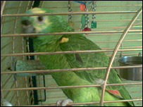 The blue-throated Amazon parrot called Chelsea