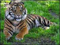Kepala the tiger