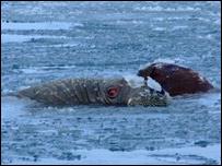 Walrus two
