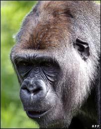 Bokito, the Rotterdam gorilla