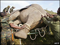 Kenyan park rangers move a sedated elephant - file photo