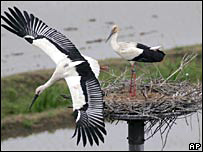 The chick is at the feet of parent white stork in a nest in western Japan, 20 May 2007