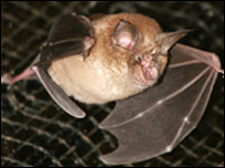 Greater Horse Shoe Bat, courtesy JJ Kaczanow/ Bat Conservation Trust