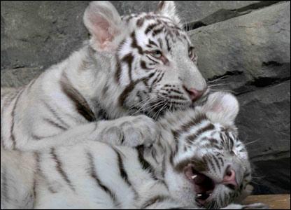 Белые бенгальские тигры занесены в