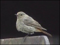 Black redstart (BBC)